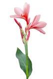 Blomma för Canna lilja Royaltyfri Fotografi