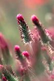 Blomma för karmosinröd växt av släktet Trifolium Arkivbilder