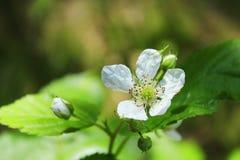 Blomma för löst hallon i skogen Royaltyfri Fotografi