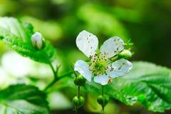 Blomma för löst hallon i skogen Royaltyfri Foto