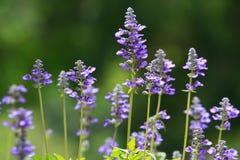 Blomma för purpurfärgad klematis Fotografering för Bildbyråer