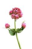 Blomma för röd valeriana Arkivfoton