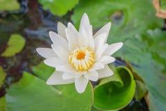 Blomma för vit lotusblomma i vattnet Fotografering för Bildbyråer