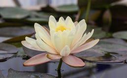 Blomma för vit lotusblomma med det gröna bladet Royaltyfria Bilder