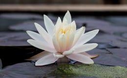Blomma för vit lotusblomma med det gröna bladet Royaltyfri Bild