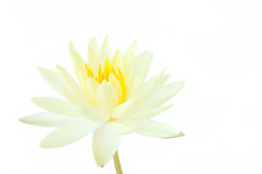 Blomma för vit lotusblomma som isoleras på vit bakgrund (näckrons) Arkivbilder