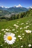 Blomma framme av den mäktiga Watzmannen Royaltyfri Bild