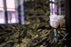 Blomma framme av skor från folk som var den dödade koncentrationsläger Auschwitz Birkenau KZ Polen Royaltyfri Fotografi
