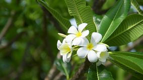 Blomma frangipanien som anv?nds i brunnsort, shoppar i suddig stil f?r bakgrund, banret eller kortet och v?rlandskapet av Leelawa arkivfilmer