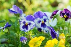 Blomma färgrika pansies i trädgården Fotografering för Bildbyråer