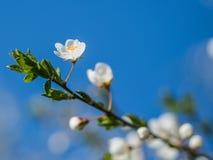 blomma fruktträd Arkivfoton