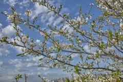 Blomma fruktträdet i blåsiga April arkivbild