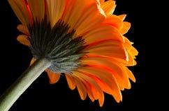 blomma gerber arkivfoto