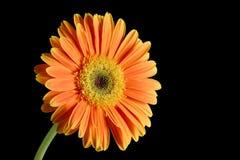 blomma gerberaen Royaltyfri Bild