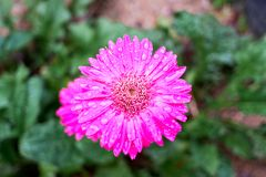 blomma gerberapinken royaltyfria foton