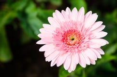 blomma gerberapinken Arkivbild
