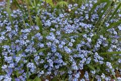 Blomma glömma-mig-nots Blommar glömma-mig-nots Fotografering för Bildbyråer