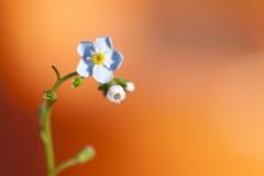Blomma glömma-mig på orange bakgrund Arkivbild