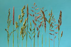 Blomma gräs med en blå bakgrund Royaltyfria Foton