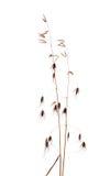 Blomma gräs med kärnar ur makro över white Royaltyfria Bilder