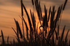 Blomma gräs under solnedgången Arkivfoto
