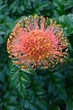 blomma grevilleaen Arkivfoton