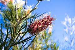 blomma grevilleaen Royaltyfri Fotografi
