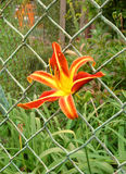 Blomma Groweing till och med ett staket Royaltyfria Foton