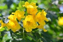 Blomma gula Klocka, gul fläder, trumpetvinranka på Thailand fotografering för bildbyråer