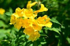 Blomma gula Klocka, gul fläder, trumpetvinranka på Thailand arkivfoton