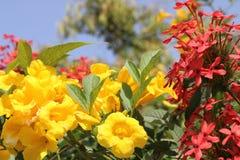 Blomma guling och röda blommor mot den blåa himlen Ökenblommor Royaltyfri Foto