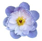 Blomma guling på en vit isolerad bakgrund med den snabba banan Natur Closeup inga skuggor Royaltyfri Fotografi
