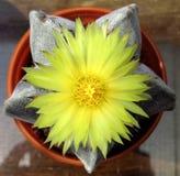 Blomma, gulna, fullständigt öppet, kaktuns Astrophytum Myriostigma Arkivbilder