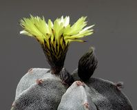 Blomma, gulna, fullständigt öppet, kaktuns Astrophytum Myriostigma Arkivfoto