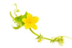 blomma gurka guling blommar på gurkan som isoleras på vit Royaltyfri Fotografi