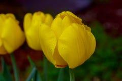 Blomma härliga tulpan, tulpan i våren, den härliga buketten av tulpan, tulpan, Arkivbilder
