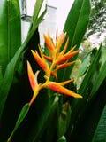 blomma heliconiaen Royaltyfria Bilder
