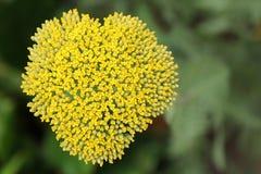 blomma hjärta Fotografering för Bildbyråer