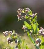 Blomma i öknen på naturen Arkivbilder