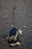 Blomma i asfalt Arkivbild