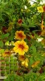 Blomma i Cameron Highlands arkivfoto