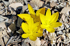 Blomma i December Sternbergia (lat Sternbergia clusiana) royaltyfri foto