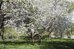 Blomma i den Apple trädgården Royaltyfria Bilder