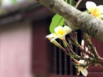 Blomma i den Thien Mu pagoden Royaltyfria Bilder