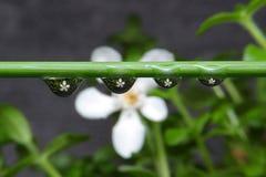 Blomma i droppe Fotografering för Bildbyråer