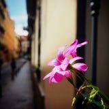blomma i ett fönster av en gata i Madrid Färg, skönhet och liv Arkivfoton