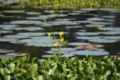 Blomma i ett liljadamm Royaltyfri Fotografi