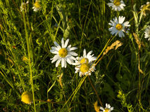 Blomma i gräs arkivfoton