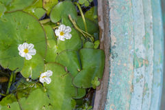 blomma i grungegräsplankruka Royaltyfri Fotografi