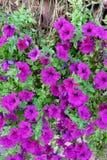 Blomma i Italienet Royaltyfria Foton
